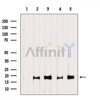 AF7022 Cleaved-Caspase 3 (Asp175), p17 Antibody WB Hela,MCF7,mouse heart,mouse spleen